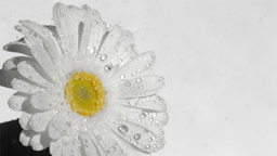 White gerbera daisy in super slow motion receiving Footage