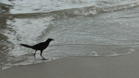 1810 Crow at the Beach in the Ocean Waves, HD Stock Video Footage