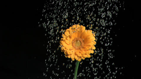 Orange flower in super slow motion being watered Footage