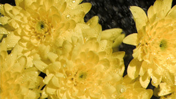 Yellow flowers in super slow motion being sprinkle Footage
