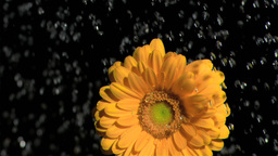 Orange gerbera in super slow motion being watered Footage