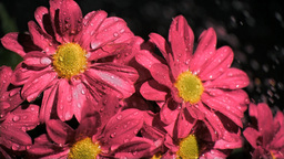 Bunch of pink flowers in super slow motion being s Stock Video Footage