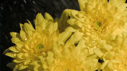 Bunch of chrysanthemums in super slow motion being soaked Stock Video Footage