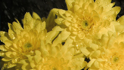 Bunch of chrysanthemums in super slow motion being Footage