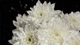 White chrysanthemums in super slow motion being watered Footage