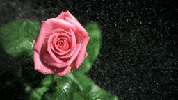 Pink rose being watered in super slow motion Footage