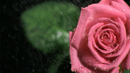 Pink rose watered in super slow motion Footage