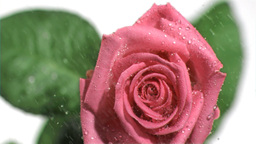 Rain falling in super slow motion on a rose Stock Video Footage