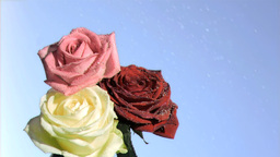 Three roses dripping in super slow motion Footage