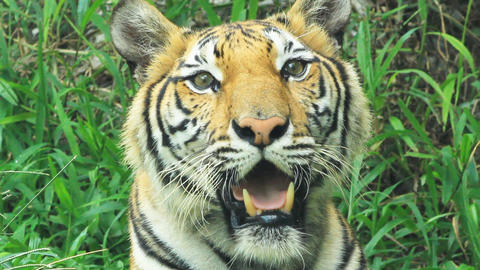 bengal tiger Stock Video Footage