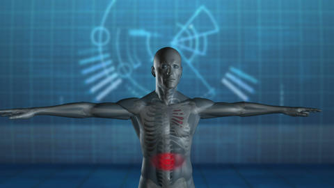 Rotating human figure with highlighted stomach Animation