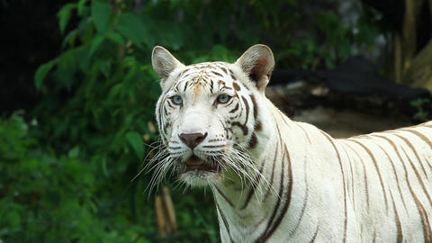 white bengal tiger resting in the forest Footage