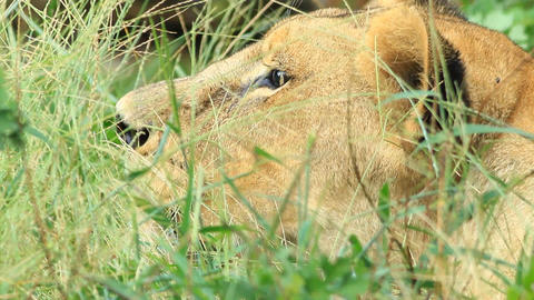 Female lion Stock Video Footage