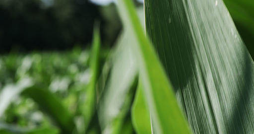1860 Corn Blowing in the Wind, 4K Stock Video Footage