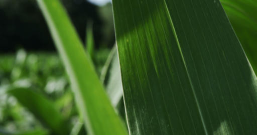 1860 Corn Blowing in the Wind, 4K Footage