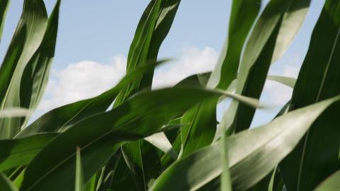 1863 Corn Field Blowing in the Wind, HD Stock Video Footage
