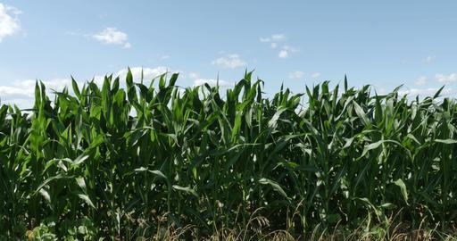 1864 Corn Field Blowing in the Wind, 4K Footage