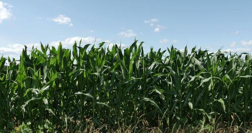 1864 Corn Field Blowing in the Wind, 4K Stock Video Footage