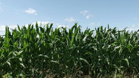 1864 Corn Field Blowing in the Wind, HD Footage