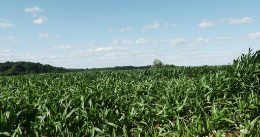 1865 Corn Field Blowing in the Wind, 4K Footage