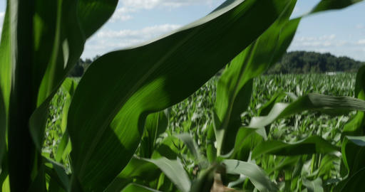 1866 Walking Through Corn Field Blowing In The Win stock footage