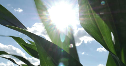 1869 Corn Field Blowing in the Wind with Sun Flare Stock Video Footage