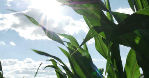 1870 Corn Field Blowing in the Wind with Sun Flare Stock Video Footage