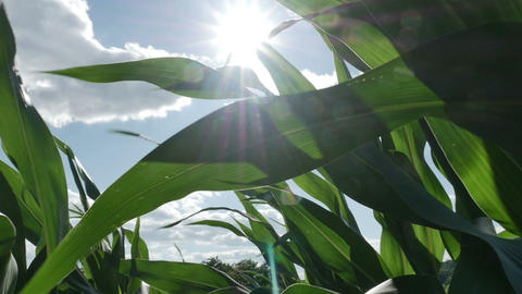 1873 Moving through Corn Field with Sun Flare in S Stock Video Footage