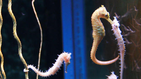 Seahorse form the Andaman sea Footage