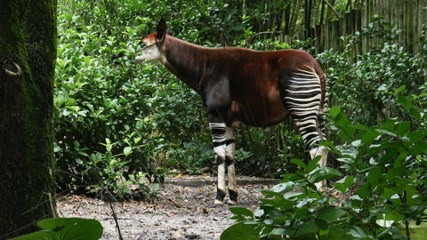 1900 Okapi Forest Giraffe, HD Stock Video Footage