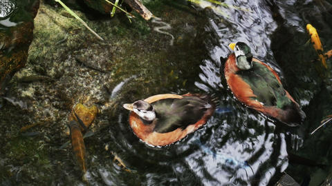 1904 Orange and Brown Duck, HD Stock Video Footage