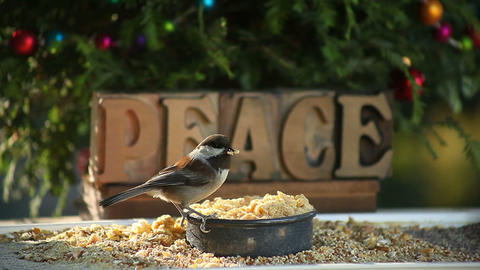 peace chickadee Stock Video Footage
