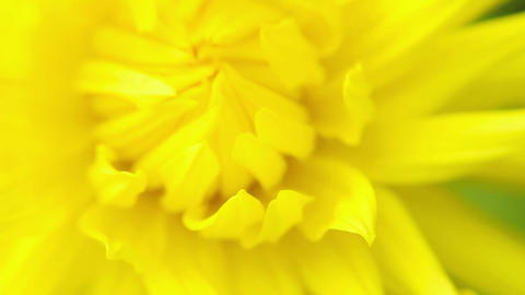 Blooming summer flower macro Footage