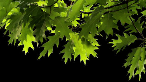 Oak leaves Footage