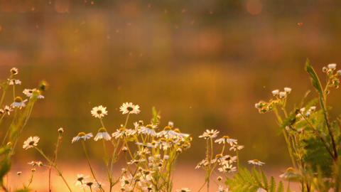 Daisies at Sunset HD 영상물