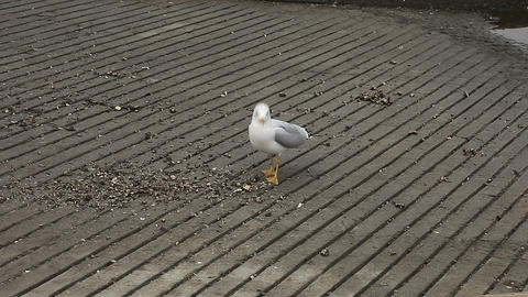 screaming gull Stock Video Footage