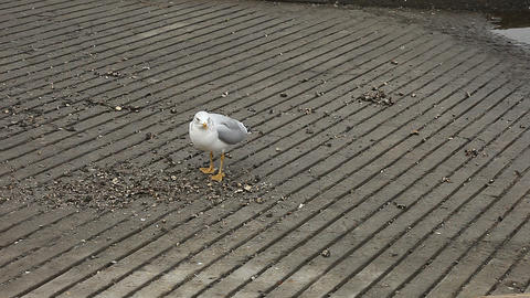 screaming gull Live Action