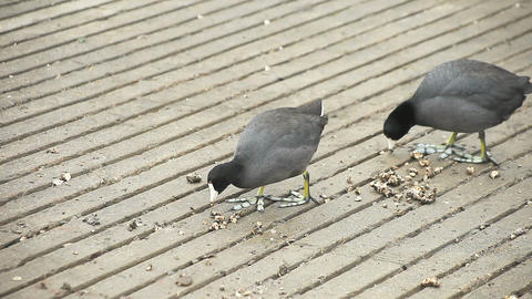 two coots eating Footage