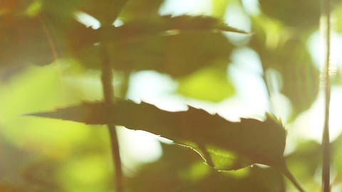 Green leafs in sunbeams Footage