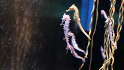 Seahorse Form The Andaman Sea stock footage