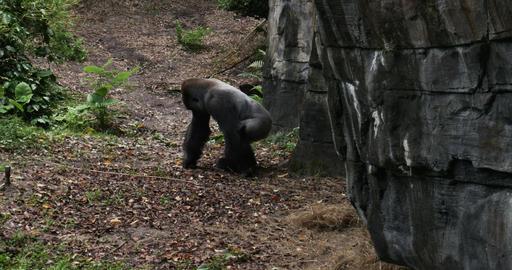 1909 Gorilla Walking Next to Rock, 4K Stock Video Footage