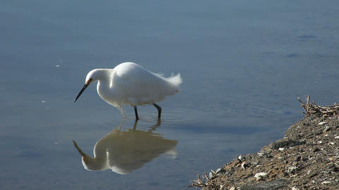 fishing egret Stock Video Footage