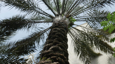 1913 Palm Tree Looking Up, HD stock footage