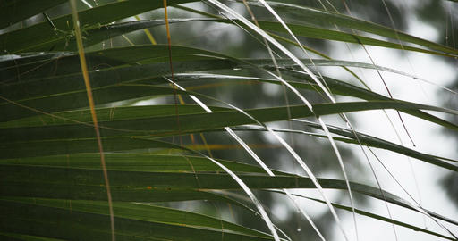 1923 Heavy Rain Storm with Palm Tree, 4K Stock Video Footage