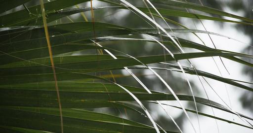1923 Heavy Rain Storm with Palm Tree, 4K Footage