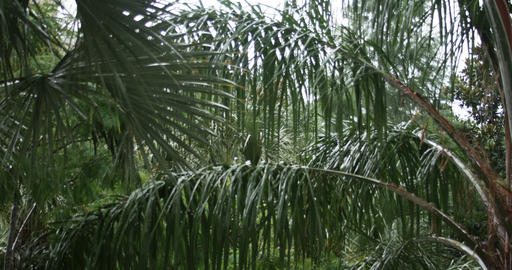 1926 Heavy Rain Storm with Palm Trees, 4K Stock Video Footage