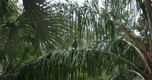 1926 Heavy Rain Storm with Palm Trees, 4K Footage