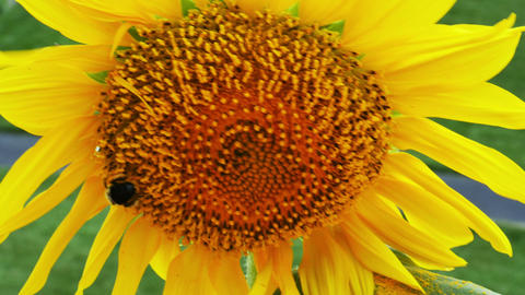1940 Sunflower with Bumble Bee, 4K Stock Video Footage