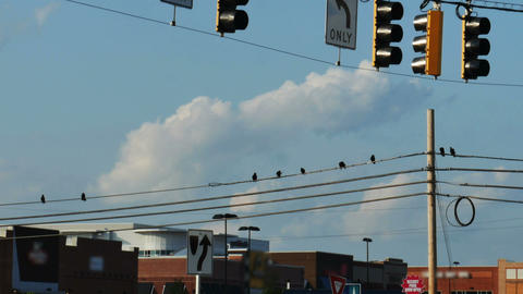 1956 Crows on Power lines, HD Footage