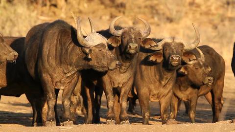 African buffalos Footage